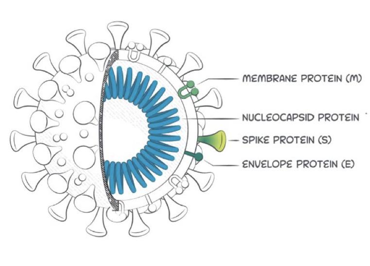ACE-2 Receptor Latex Method Antigen Test